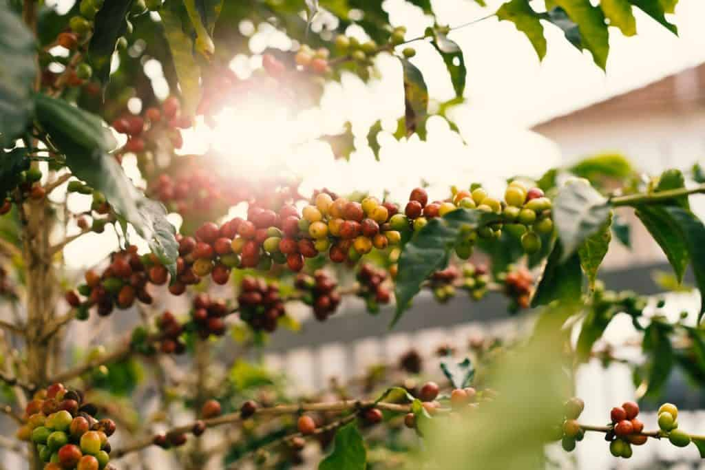 coffee cherries on a branch